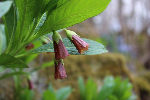 Punertavia, kellomaisia kukkia metsäisessä Hörtsänän arboretumissa
